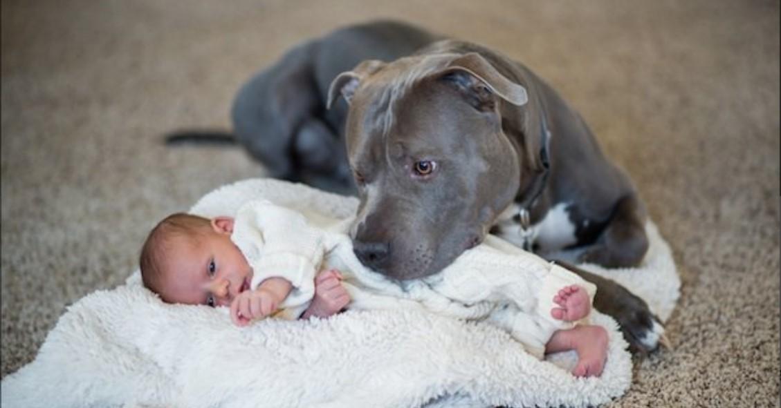 Vergifteter Pitbull liebt kleines Mädchen bis zum Tod.